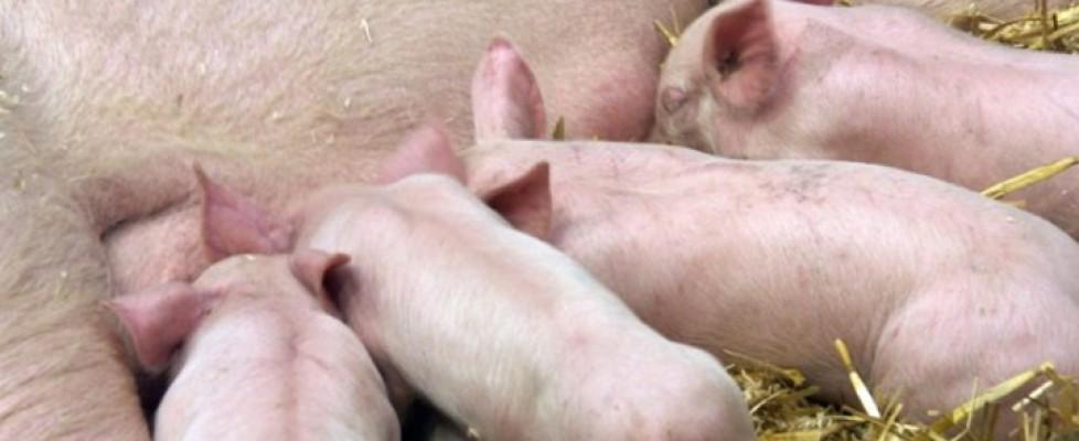 die Zucht von Nutztieren