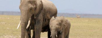 Ware Elefant
