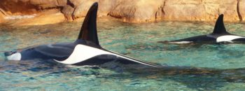 Ware Orca
