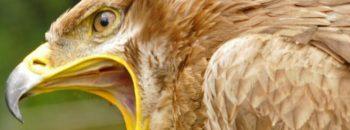Giftanschläge auf Greifvögel