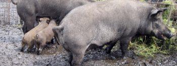 das Dreckschwein
