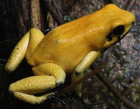 goldenerpfeilgiftfrosch